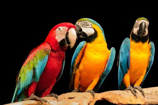 Как учить попугая разговаривать?