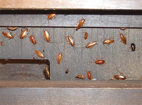 Избавиться от тараканов с помощью борной кислоты