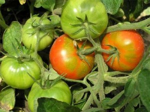 Уход и формирование томатов открытого грунта
