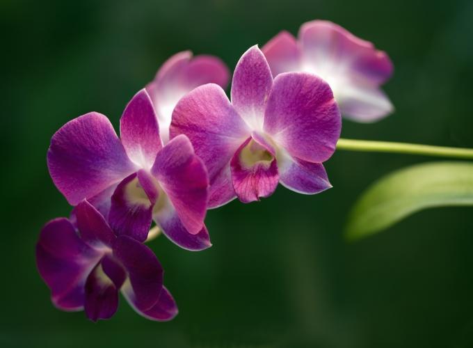 Орхидея — удивительный цветок